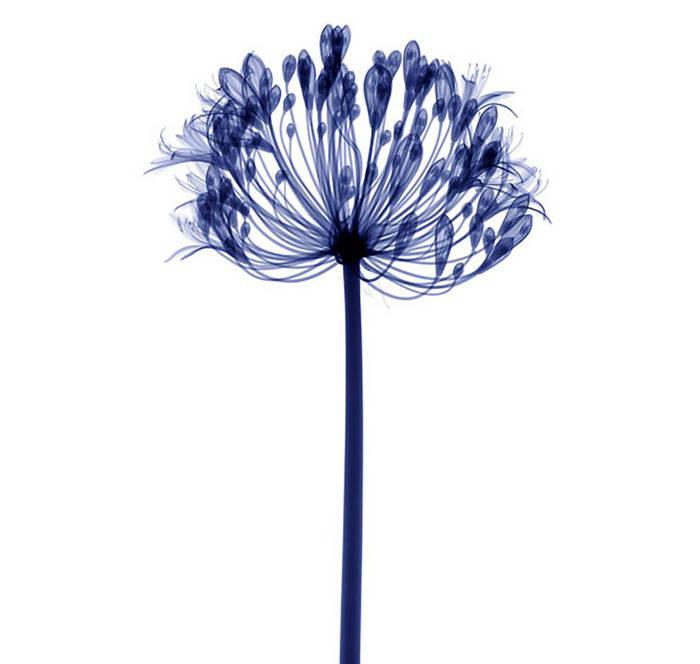 Flowers under X-Ray by Hugh Turvey