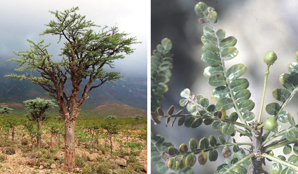 Boswellia socotrana