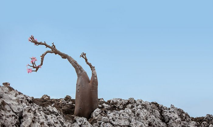 Socotra+Island+Desert+Rose,+2010+©+Peter+Franc