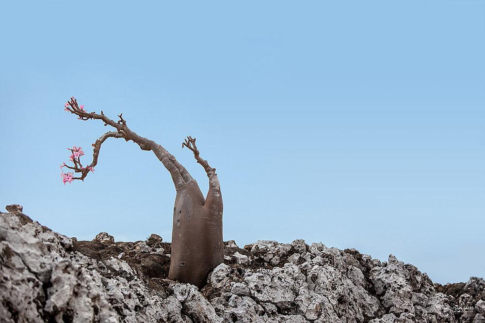 Socotra Island. Desert Rose