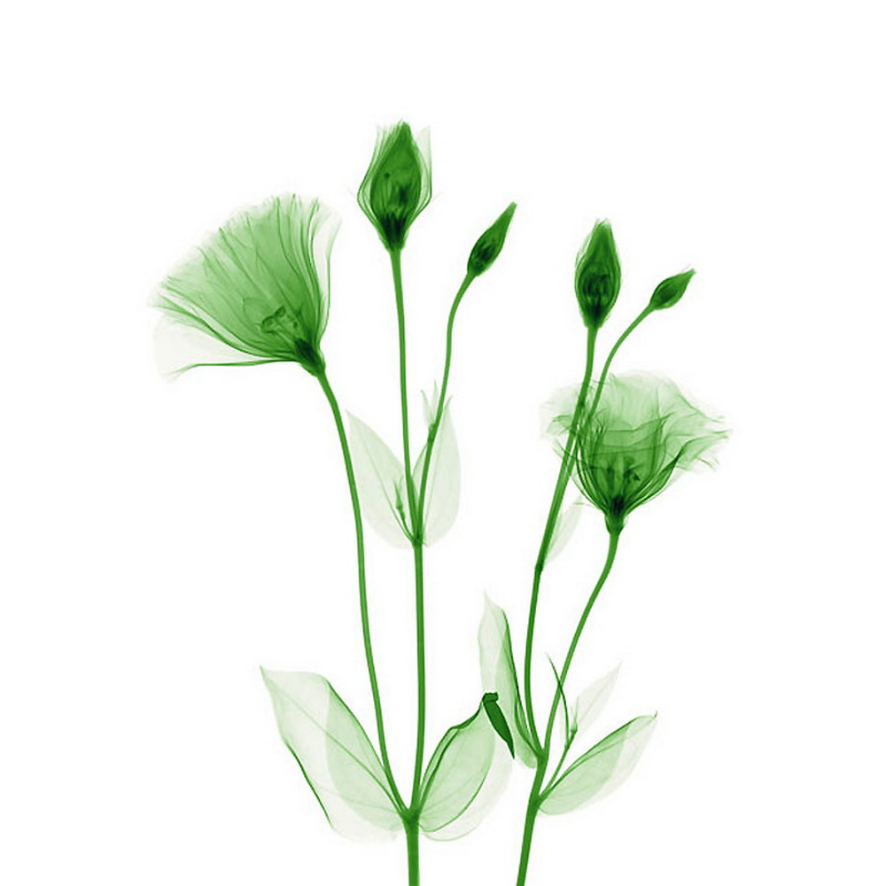 Flowers under X-Ray by Hugh Turvey