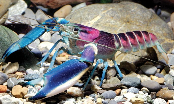 colorful-crayfish
