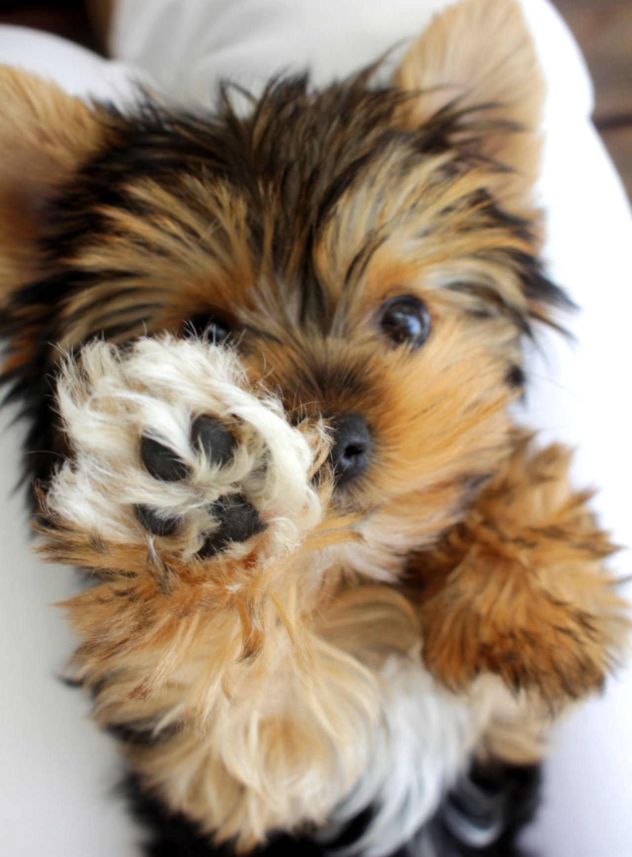 Smallest Dog Breeds In The World Splory
